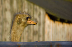 Ostrich Arkivfoton