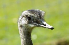 ostrich royaltyfri bild