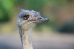 Ostrich. Close up of an ostrich Stock Photos