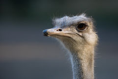 Ostrich. Close up of an ostrich Royalty Free Stock Photos