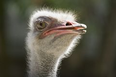 Ostrich. The African ostrich — largest of modern birds Stock Image