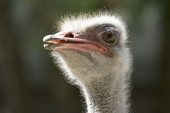 Ostrich. The African ostrich — largest of modern birds Stock Photos