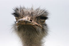 Ostrich 8. A close up portrait of an ostrich with his eye lids closed Stock Images