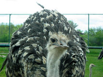 Ostrich. In the zoo Royalty Free Stock Photos