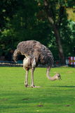 Ostrich. The ostrich costs on a green glade on the shot middle Stock Photo