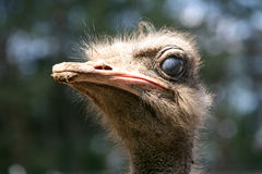 Ostrich Royalty Free Stock Image