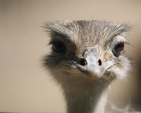 Free Ostrich Stock Photo - 8965350