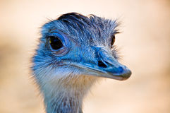 An ostrich. Portrait with yellow background Royalty Free Stock Photography