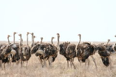 Free Ostrich Royalty Free Stock Photos - 9036448