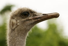 Ostrich. An Ostrich close-up. Proud bird royalty free stock photos
