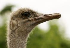 Ostrich. An Ostrich close-up. Proud bird Royalty Free Stock Photos