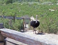 Ostrich Fotografering för Bildbyråer