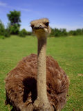 Ostrich. Head Stock Photo