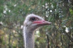 Ostrich Royaltyfria Foton