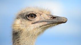 Ostrich lager videofilmer
