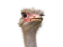 Free Ostrich Royalty Free Stock Photography - 9643867