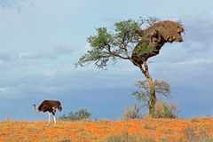 Ostrich and Acacia tree Royalty Free Stock Photos