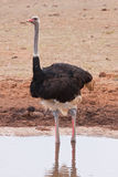 An ostrich in Addo Safari Park, South Africa Royalty Free Stock Images