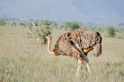 Ostrich in africa Stock Images