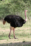 Ostrich in  Africa Royalty Free Stock Image