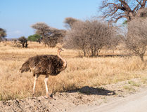 Ostrich in Africa Stock Photography