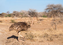 Ostrich in Africa Stock Image