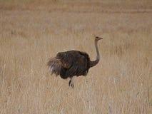 Ostrich in Africa safari Tarangiri-Ngorongoro. Ostrich in Safari in Tarangiri-Ngorongoro, safari ostriches, savanna, ostrich in the natural environment, wildlife stock photos