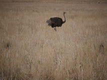Ostrich in Africa safari Tarangiri-Ngorongoro. Ostrich in Safari in Tarangiri-Ngorongoro, safari ostriches, savanna, ostrich in the natural environment, wildlife royalty free stock photos