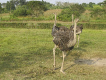 Ostrich in the african savanna Stock Images
