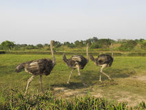 Ostrich in the african savanna Stock Photography