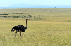 Ostrich in the African savannah Royalty Free Stock Images
