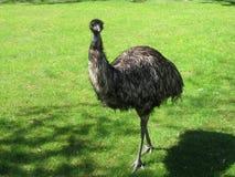 Ostrich anhydrous Kunskap av naturen Till och med ögonen av naturen royaltyfri foto