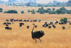 Ostrich and antelope gnu Stock Photo