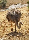 Ostrich in Arbatax. Sardinia. Italy Royalty Free Stock Photo