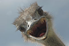 Ostrich attack Stock Images