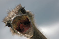 Ostrich attack Stock Photo
