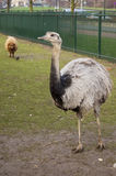 Ostrich and in background a brown sheep. Ostrich and in the background a brown sheep Stock Images