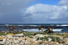 Ostrich at the Beach of the Cape of Good Hope Stock Image