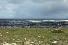 Ostrich at the Beach of the Cape of Good Hope Stock Images