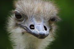 Ostrich, Beak, Ratite, Bird Royalty Free Stock Image