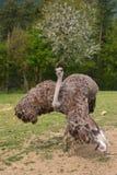 Ostrich. Beautiful brown ostrich standing still Stock Photography