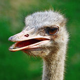 Ostrich. Beautiful Ostrich closeup, head and face profile Royalty Free Stock Photo