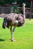 Ostrich Stock Photos
