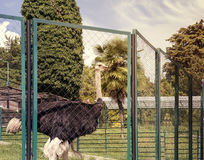 Ostrich behind the fence of the enclosure. For a mesh fence enclosure is an ostrich with a long neck and dark plumage Stock Photos