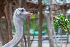 Ostrich is bending his neck to peck green leaves as feeding, his eyes is staring at the tourist stock photos