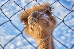 An ostrich with big eyes looks through the grate stock photo