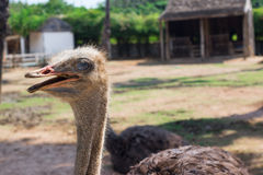 Ostrich. The big ostrich in Thailand farm Royalty Free Stock Photo
