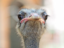 Ostrich bird Stock Photos