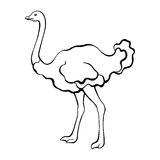 Ostrich bird black white sketch  illustration. Vector Royalty Free Stock Image