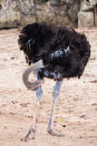 Ostrich bird cleanings  its legs Stock Image